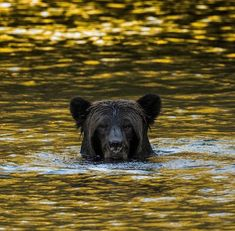 PsBattle: This grizzly rising up out of the Bella Coola River in British Columbia Black Bear, Brown Bear, Natural Born Killers, Flora And Fauna, Beautiful Creatures, National Geographic, Animal Kingdom, Animal Pictures, Backdrops