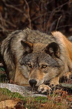 #Wolf #lyingdown# beautiful