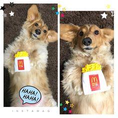 こんばんわん🐶 今日はポテト持ってみたワン🍟 明日で今年も終わっちゃうね! 毎年毎年一年はやいなぁ〜! #おもちゃ#ポテト#マクドナルド#愛犬#犬#ミニチュアダックス#ダックスフンド#レン#癒し犬#わんこ#短足#おでぶ #親バカ#可愛い#溺愛#love#dog#dachshound#japan#instagood#instadog