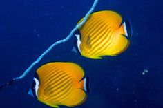 Butterflyfishes - they usually come in pair