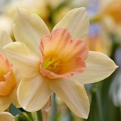 Phoenix Perennials – Nursery – Plant Display – Narcissus jonquilla 'Blushing Lady' – Apodanthus Daffodil, Jonquil - All About Gardens Narcissus Flower, Daffodil Flower, Daffodil Bulbs, Daffodils, Pansies, Flower Images, Flower Photos, Planting Bulbs, Tatoo