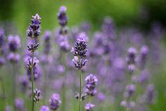 prettylittleflower:    Lavender Field (by Noutyboy)