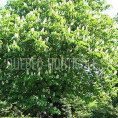 image de Aesculus hippocastanum Photos, Herbs, Gardens, Index Cards, Plant, Pictures, Herb, Medicinal Plants