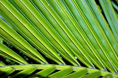 Pinnate: The parts arranged on either side of an axis, as in a feather.