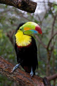 Toucan | Flickr: Intercambio de fotos