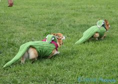 Corgigators... There's a little bit of me that hopes the queen does this with hers.