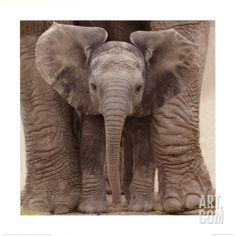 'Big Ears' - photo from Art.com, photographer not listed