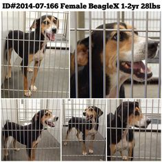 """Wynonna"" ID#2014-07-166 Female BeagleX 1-2yrs 28lbs WINDER, GA Barrow County Animal Control Shelter  616 Barrow Park Drive Winder, GA 30680  Department Contacts: (770) 307-3012 Phone (they will not return long distance calls)  (770) 867-1660 Fax  Kimberly Perez – kperez@barrowga.org https://www.facebook.com/SavingBarrowCountyAnimalControlPets/photos/a.405052182891317.92896.366722686724267/733173646745834/?type=3&theater"