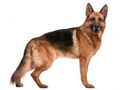 More About The Australian Shepherd Puppy Temperament German Shepherd Facts, German Shepherd Information, German Shepherd Breeds, German Shepherd Puppies, German Shepherds, Merle Australian Shepherd, Service Dogs Breeds, Dog Breeds, Pet Dogs