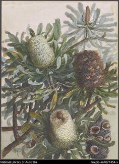 Banksia serrata L. Vintage Botanical Prints, Botanical Drawings, Botanical Art, Botanical Illustration, Australian Flowers, Australian Painters, Mosaic Projects, Art Programs, Wildlife Art