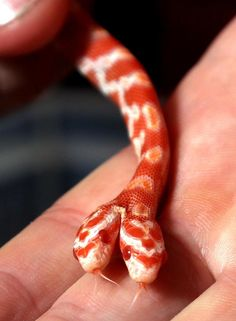 Pet owner shocked to discover a baby corn snake with TWO heads : One pet owner was shocked to find his corn snake had been born with two heads Les Reptiles, Cute Reptiles, Reptiles And Amphibians, Pretty Snakes, Beautiful Snakes, Beaux Serpents, Lucrèce Borgia, Beautiful Creatures, Animals Beautiful