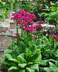 Three Dogs in a Garden - Primula