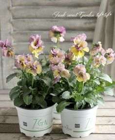 <i> Viola×wittrockiana </i><BR><BR>八重咲きパンジー<BR>『フェアリーチュール』<BR>落合さん育種!『ハーデン』