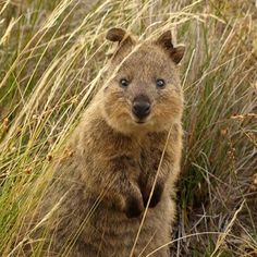 natural quokka
