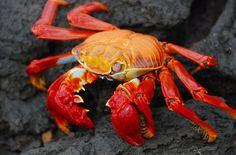 Red+Crab.jpg 640×423 pixels