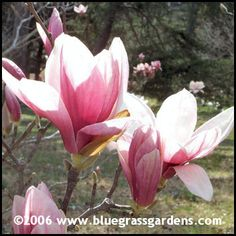 I want one in our front yard they are amazing. Saucer Magnolia Tree, Magnolia Trees, Magnolia Flower, Japanese Magnolia Tree, Magnolia Pictures, Magnolia Tattoo, Light And Shadow, Magnolias, Event Planning