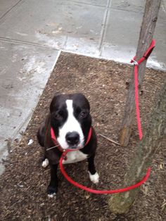RIP EVA***ESTROYED 5/19/13 Brooklyn Center EVA A0965084 Female black/white pit mix 1 YR 6 MOS. Eva is young, very pretty, scared but ready to move on to her next chapter. She's caught the shelter cold SO she's on tomorrow's list  to die. The only way she'll see tomorrow nite is if someone steps up for her NOW, tomorrow will be too late. It would be a shame to lose sweet young Eva! https://www.facebook.com/photo.php?fbid=610450888967794=a.611290788883804.1073741851.152876678058553=3