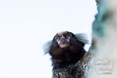 O sagui-de-tufos-brancos (nome científico: Callithrix jacchus) também conhecido como sonhim é uma espécie de macaco do Novo Mundo. Sua origem é do nordeste do Brasil mas atualmente é encontrado também no sudeste e demais áreas além de criado em cativeiros em diversos países.  Fonte: Wikipedia - http://ift.tt/1HQJd81
