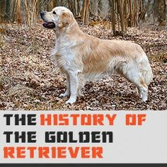 The History of the Golden Retriever https://didyouknowpets.com/2015/01/25/the-history-of-the-golden-retriever/