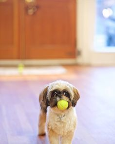 Coco-a happy puppy Shih Tzu and sister to Cupcake