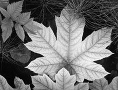 """Leaf, Glacier Bay National Monument Image Date: ca. 1948 Signed: """"Ansel Adams"""" Print Size: approx. 8""""x10"""" Print Condition: Excellent Includes Certificate of Authenticity from The Ansel Adams Gallery Email us for more details"""