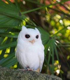 Little Eastern Screech-Owl! Most bird watchers know this species only from its trilling or whinnying song. Did you already heard one 🦉? Nature Animals, Animals And Pets, Cute Animals, Wildlife Nature, Owl Photos, Owl Pictures, Beautiful Owl, Animals Beautiful, Rapace Diurne