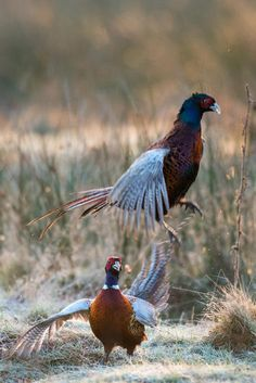 © James Warwick - cock pheasants fighting