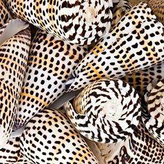 Issa shells