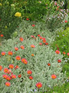 Fynbos garden Ground Cover Plants, Xeriscape, Plants, African Plants, Waterwise Landscaping, Fynbos, Native Garden, Trees To Plant, Waterwise Garden