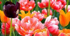 Albany Tulip Festival, NY