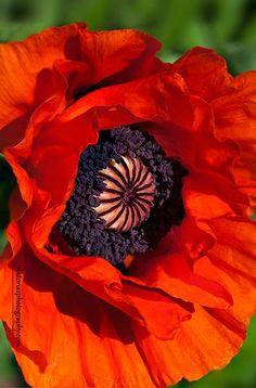 ~~Red Oriental Poppy by Viktoria Mullin~~: