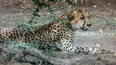 Madre de gueopardo en wl Masaimara.Kenia.