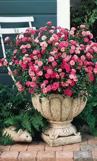Container Gardening Roses can be grown in containers to create a beautiful, fragrant focal point on Planting Roses, Flowers Garden, Raised Bed Garden Design, Rose Care, Rose Stem, Growing Roses, Rose Bush, Container Flowers, Amazing Flowers
