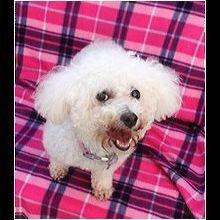 ― Bichon Frise Rescue ― ADOPTIONS Bichon Frise Rescue, Post Animal, Pet Adoption, Safari, Buttercup, Teddy Bear, Pets, Phoenix Arizona, Interior