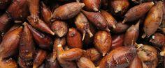 Apios americana, hopniss (American ground nuts0