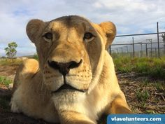 Ethical Volunteering with the best range of affordable Community, Child Care, Wildlife and Conservation volunteer projects in South Africa. Volunteer Work, Volunteer Abroad, Wildlife Conservation, Gap Year, Leopards, Volunteers, Big Cats, Predator, Lions