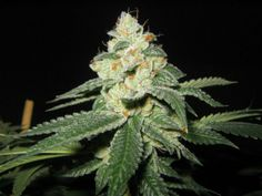 10 Brain Exploding Things You Didn't Know About Weed