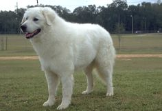 Bold, courageous and fearless, the Kuvasz is an unparalleled livestock guard, able to act at just the right moment without instruction and c...