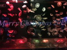 merry christmas 2015 @sumida aquarium jelly fish