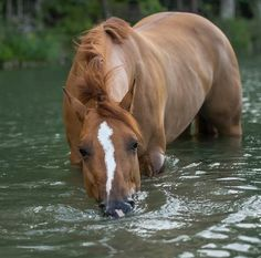 Pretty chestnut horse chest deep in water—and loving it. Pretty chestnut horse chest deep in water—and loving it. Horse Photos, Horse Pictures, Most Beautiful Animals, Beautiful Horses, Beautiful Life, Pony Horse, Chestnut Horse, Majestic Horse, All The Pretty Horses