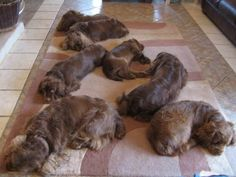 Sussex spaniels...the perfect rug.