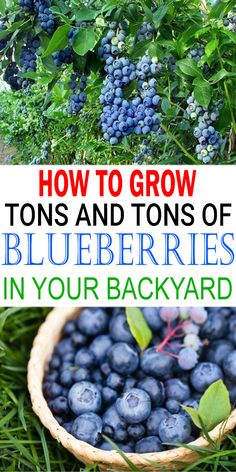 Blueberries are not only productive, but their glorious autumn colors provide ornamental appeal too. The blueberry plant offers small white color flowers in spring, glossy green leaves in summer and spectacular crimson foliage in fall. Veg Garden, Fruit Garden, Edible Garden, Garden Pests, Vegetable Gardening, Spring Vegetable Garden, Flower Gardening, Garden Trees, Garden Flags