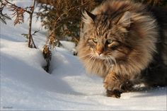 Siberian Forest Cat - Rounder, softer features and larger eyes than cousins Norweigan Forest Cat and Maine Coon Cat