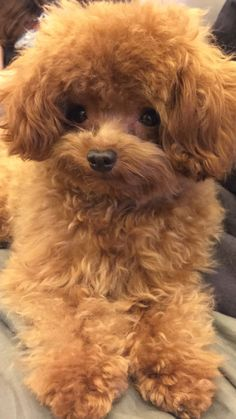 They call me Toffee… Do you think the name fits? Cute Small Dogs, Cute Little Puppies, Cute Puppies, Toy Poodle Puppies, Poodle Mix, Mini Poodles, Toy Poodles, Dog Breed Info, Tea Cup Poodle