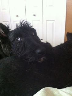 Eyes   Scottish Terrier