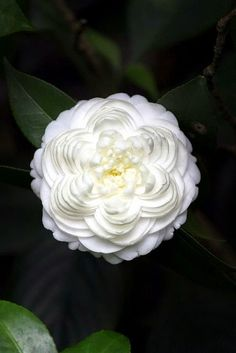 Camellia - one of my favourite flowers / plants in the garden Exotic Flowers, Amazing Flowers, My Flower, White Flowers, Beautiful Flowers, Colorful Roses, Beautiful Gorgeous, Beautiful Patterns, Bonsai Plante