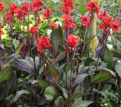 Canna Plant Growing Information