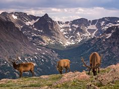 Picture of elk grazing in Rocky Mountain National Park