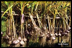 Tips for Harvesting Garlic in 9 Simple Steps