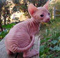 1000 Images About Cats Without Hair On Pinterest Sphynx